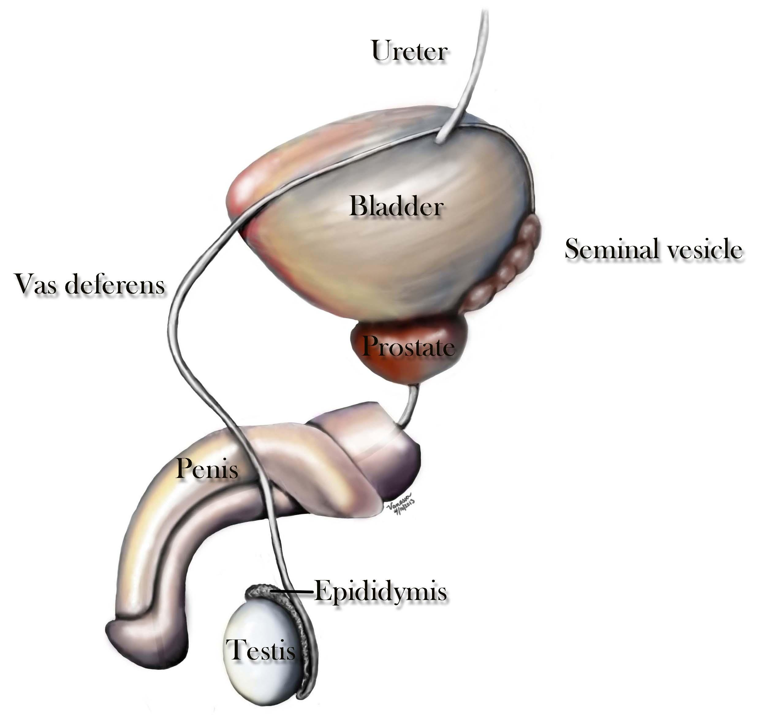 Vas Deferens Ejaculatory Ducts Center For Male Reproductive