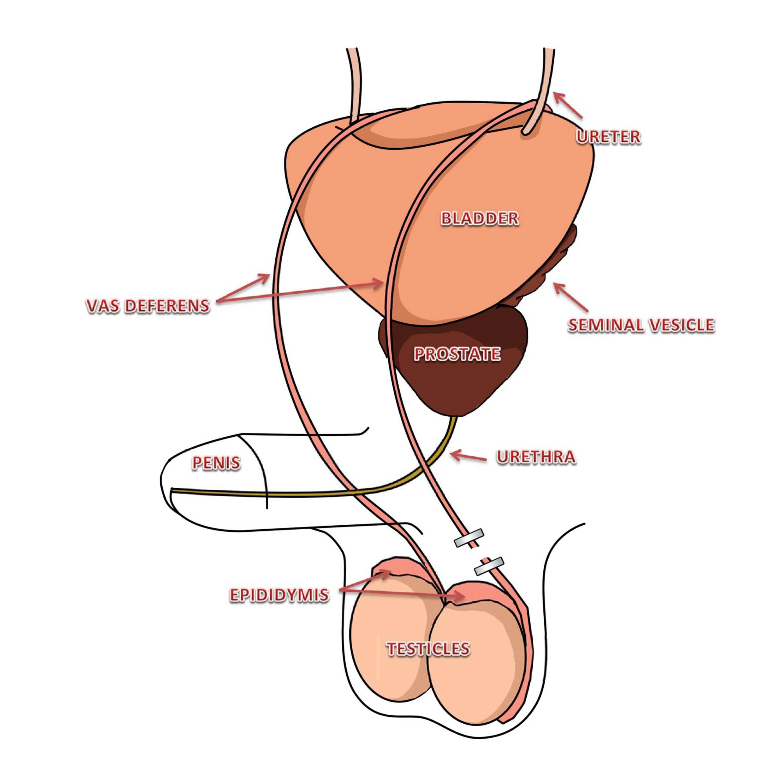 Vasectomy anatomy